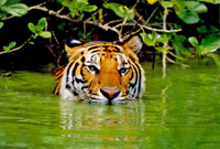 Green water tiger